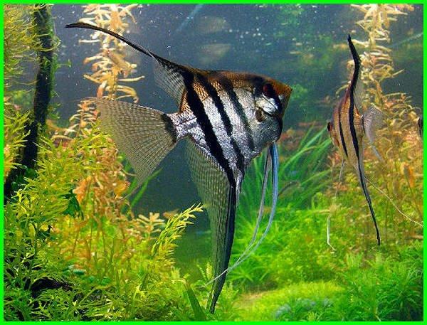 ikan angelfish, tentang ikan manfish, mengenal ikan manfish, fungsi ikan manfish, foto ikan manfish, fakta ikan manfish, manfish ikan, ikan hias angelfish air tawar