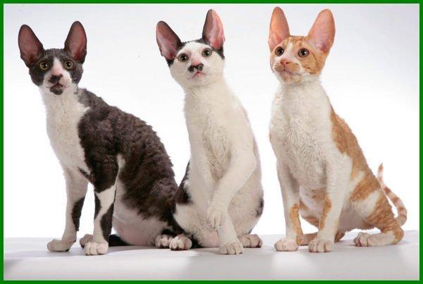 jenis kucing mungil,jenis jenis kucing peliharaan kecil, jenis kucing kepala kecil, jenis kucing yang kecil, jenis kucing yang selalu kecil, jenis kucing yang ukurannya kecil, jenis jenis kucing kitten