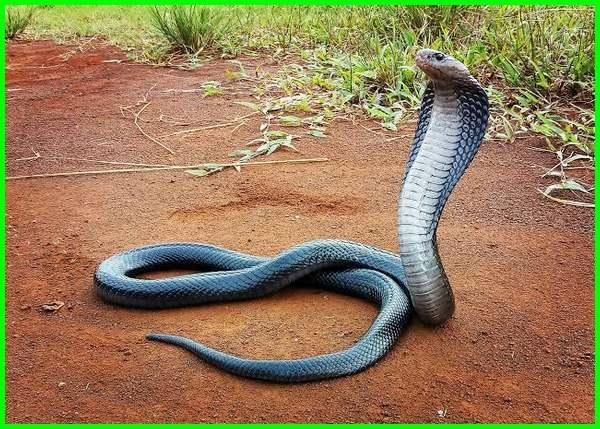apakah ular sawah berbisa, jenis jenis ular sawa, ular sawah, ular sawah kecil, bentuk ular sawah, jenis ular sawah di indonesia, macam macam ular sawah, macam ular sawah, jenis ular sawa, ular sawah pendek, jenis ular yang ada di sawah
