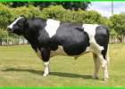 jenis sapi potong adalah, sapi fh jantan, jenis sapi potong yang bagus, jenis jenis sapi pedaging, jenis sapi potong dan ciri cirinya, jenis sapi potong dan cirinya, macam macam sapi potong di indonesia, macam macam jenis sapi pedaging, jenis sapi yang bagus, jenis2 sapi pedaging, perbedaan jenis sapi, mengenal jenis sapi di indonesia, jenis sapi potong terbaik