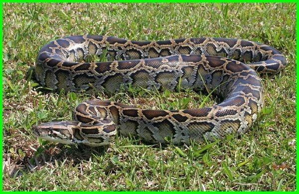 jenis ular yang ada di sawah, ular sawah berbisa tidak, jenis ular sawah tidak berbisa, jenis2 ular sawah, nama nama ular sawah, nama ular sawah