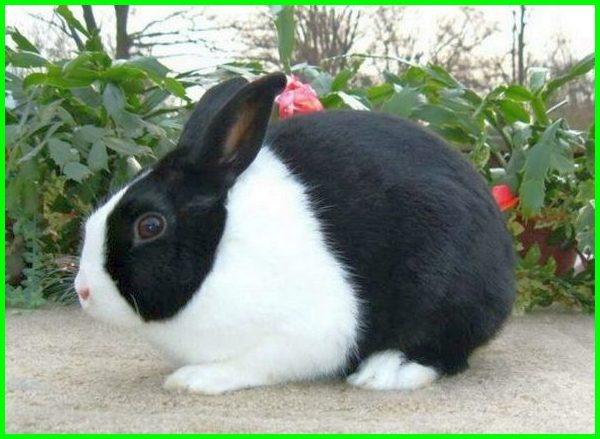 beberapa jenis kelinci hias, jenis jenis kelinci hias, jenis-jenis kelinci hias, jenis kelinci hias dan harga, jenis kelinci hias dan gambarnya, jenis kelinci hias dan namanya, macam-macam kelinci hias dan harganya, jenis kelinci anggora dan harganya, jenis kelinci anggora di indonesia, foto jenis kelinci hias