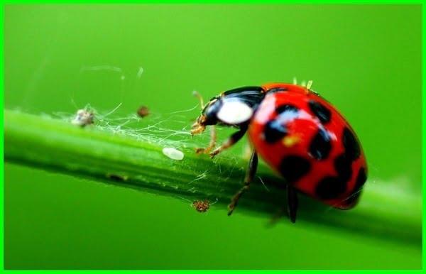 kumbang koksi predator, kumbang koksi adalah, kumbang koksi sebagai predator, kumbang koksi ladybug, bioekologi kumbang koksi, ciri kumbang koksi, deskripsi kumbang koksi, klasifikasi kumbang koksi, kumbang koksi klasifikasi, kumbang koksi nama latin, gambar kumbang koksi, ordo kumbang koksi, habitat kumbang koksi, kumbang koksi hama