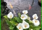 tanaman untuk di kolam ikan, tanaman yang baik untuk kolam ikan, tanaman yang bagus untuk kolam ikan, tanaman kolam ikan minimalis, tanaman hias kolam ikan minimalis, tumbuhan untuk kolam koi, tanaman untuk kolam koi, tanaman buat kolam ikan, tanaman hias buat kolam ikan