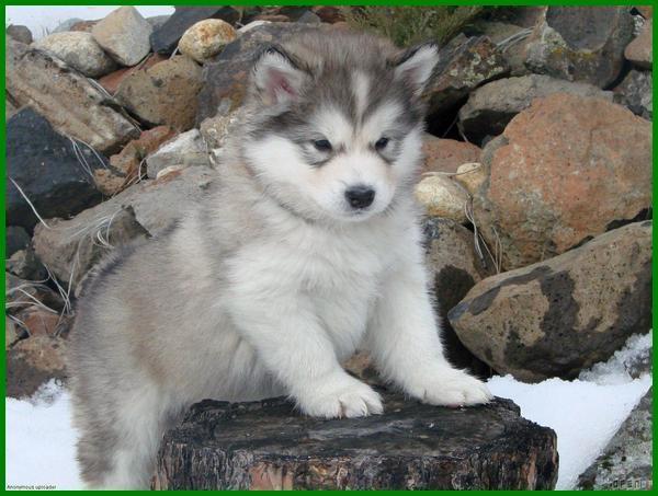 gambar anjing lucu, gambar anjing alaskan malamut, anjing jenis alaskan malamute, jenis anjing alaskan malamut, anjing ras alaskan malamute, tipe anjing alaskan malamute, asal usul anjing alaskan malamute