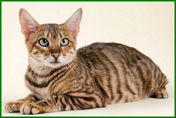 jenis kucing kampung yang bagus, jenis bulu kucing kampung, jenis warna bulu kucing kampung, macam kucing kampung, jenis kucing kampung dan sifatnya, jenis kucing kampung dan gambarnya, jenis kucing lokal indonesia, jenis jenis kucing lokal, foto jenis kucing kampung, gambar jenis kucing kampung, jenis kucing kampung indonesia, jenis kucing kampung jantan, nama jenis kucing kampung, jenis ras kucing kampung, macam macam jenis kucing kampung, jenis2 kucing kampung