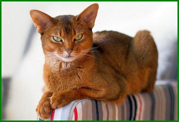 jenis kucing tercantik di dunia, jenis kucing paling cantik, jenis kucing terimut, jenis kucing blasteran, 10 kucing tercantik di dunia, kucing tercantik sedunia, kucing tercantik di dunia, jenis kucing didunia, jenis kucing eksotis, jenis kucing tercerdas, jenis jenis kucing cantik, kucing tercantik dunia, jenis kucing terindah, jenis kucing rumahan cantik, jenis kucing yang cantik, macam-macam kucing yang cantik