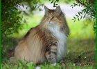 macam macam jenis kucing besar, nama jenis kucing besar, jenis kucing besar dari zaman purba, jenis kucing paling besar, jenis kucing paling besar di dunia, spesies kucing paling besar, jenis kucing yang paling besar, jenis2 kucing besar ras kucing besar
