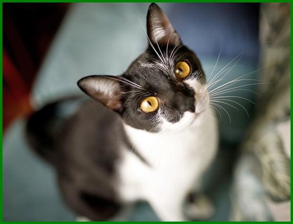 jenis kucing kampung hitam putih, jenis kucing kampung campuran, jenis kucing blasteran, kucing campuran, jenis kucing mix, jenis kucing bagus, jenis jenis kucing campuran