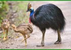 penjelasan tentang burung kasuari, informasi tentang burung kasuari, keterangan tentang burung kasuari, teks deskripsi tentang burung kasuari, semua tentang burung kasuari, kenapa burung kasuari tidak bisa terbang, mengapa burung kasuari dilindungi pemerintah, mengapa burung kasuari tidak bisa terbang, mengapa burung kasuari semakin langka, untuk burung kasuari