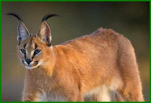 Jenis Kucing Caracal Kucing Eksotis Dari Alam Liar Daftarhewan Com
