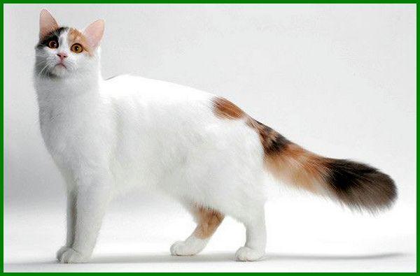 berapa jenis kucing, jenis kucing langka di indonesia, jenis jenis kucing langka, kucing langka di indonesia, nama jenis kucing, nama jenis jenis kucing