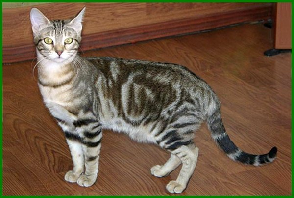 jenis kucing paling langka di dunia, jenis jenis kucing langka, ras kucing langka, kucing langka di indonesia, jenis kucing paling langka, jenis kucing tutul