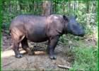 hewan badak sumatera, hewan badak sumatera dilindungi, manfaat hewan badak sumatera