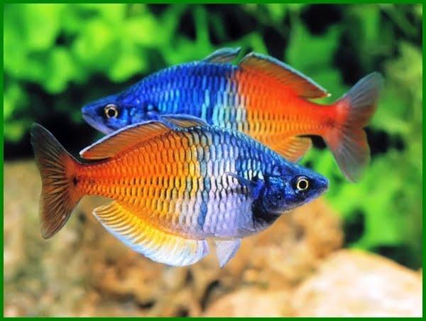 ikan hias asli indonesia, ikan hias asli indonesia dan nama latinnya, jenis ikan hias endemik indonesia, jenis ikan hias asli indonesia