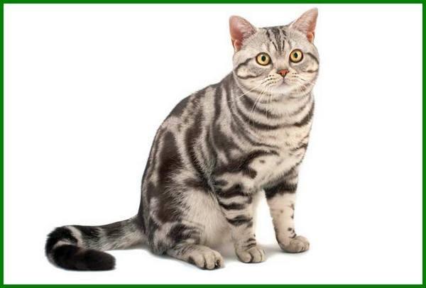 jenis kucing mahal di dunia, jenis kucing mahal di indonesia, macam macam kucing mahal, jenis kucing paling mahal, 10 jenis kucing mahal yang dicari, jenis kucing yang mahal, jenis kucing yang mahal harganya, jenis kucing paling mahal di dunia, jenis jenis kucing mahal, jenis kucing paling mahal di indonesia, jenis kucing langka dan mahal, jenis jenis kucing paling mahal