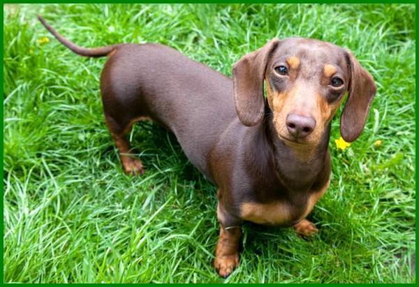 rekomendasi anjing kecil, rekomendasi anjing penjaga, rekomendasi anjing peliharaan, rekomendasi anjing peliharaan untuk pemula, rekomendasi jenis anjing peliharaan