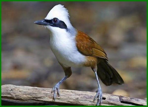 burung burung yang dilindungi di indonesia, diagram berikut menyajikan 5 jenis burung yang dilindungi, contoh burung yang dilindungi, sebutkan 3 jenis burung yang dilindungi, burung kicau yang dilindungi 2020, 10 burung yang dilindungi, burung yg dilindungi di indonesia, burung yg dilindungi pemerintah, burung yang di lindungi di indonesia, burung yang di lindungi indonesia, burung yang dilindungi undang undang, burung yang termasuk dilindungi