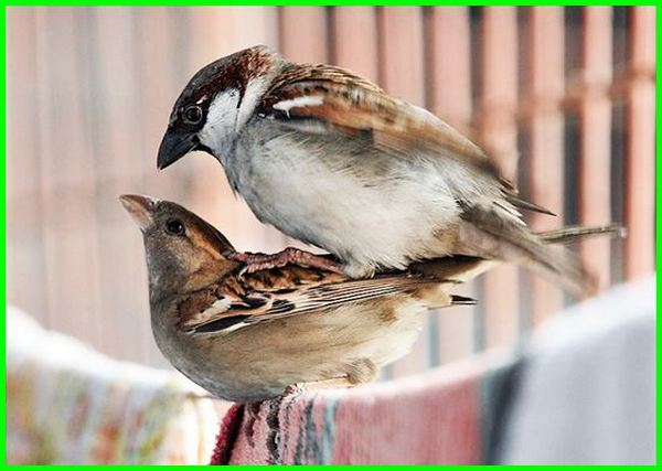 cara perkembangbiakan burung aves, cara berkembang biak hewan aves burung adalah, cara berkembang biak burung merak dan habitatnya, cara perkembangbiakan burung merak dan habitatnya, burung berkembang biak dengan cara, burung berkembang biak dengan cara brainly, burung berkembang biak dengan cara ovipar, burung berkembang biak dengan cara bertelur, bagaimana cara burung berkembang biak, cara berkembang biak burung gereja, cara burung bertelur