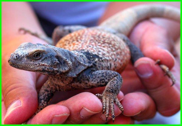 reptil herbivora contohnya, reptil herbivora selain iguana, hewan reptil herbivora, reptil omnivora herbivora, binatang reptil herbivora, jenis reptil herbivora dan omnivora, contoh hewan reptil herbivora, contoh herbivora reptil, reptil omnivora, reptil contoh, jenis reptil herbivora, reptil contohnya, reptil yang termasuk herbivora