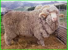 domba merino bandung, domba merino super, domba merino jantan, domba merino adalah, domba merino asli, domba merino australia, asal domba merino, domba merino bertanduk, ciri domba merino, ciri ciri domba merino, domba merino dari, merino domba, foto domba merino, gambar domba merino, keunggulan domba merino