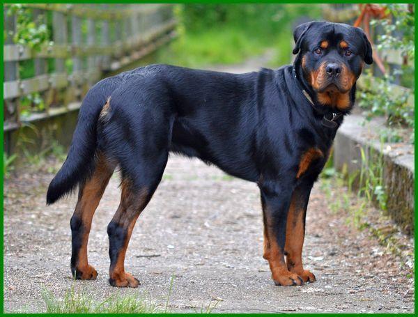 jenis anjing yg paling setia, jenis anjing yang paling setia, jenis anjing yang pintar dan setia, anjing yang setia, anjing yg setia, 10 anjing yang paling setia