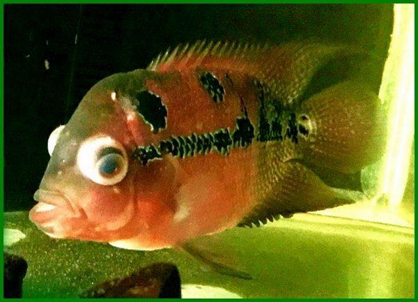 penyakit ikan louhan mata bengkak, penyakit ikan louhan berak putih, jenis penyakit ikan louhan, penyakit mata ikan louhan, penyakit kulit ikan louhan, obat penyakit ikan louhan, penyakit mulut ikan louhan, penyakit sirip ikan louhan, penyakit ikan louhan dan cara mengatasinya, penyakit pada ikan louhan, penyakit ikan louhan dan penanganannya, penyakit berput pada ikan louhan, penyakit berak putih pada ikan louhan, ciri penyakit ikan louhan, cara mengobati penyakit ikan louhan, hama dan penyakit ikan louhan