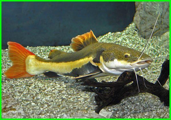 ikan lele ekor merah, harga lele ekor merah, penyakit lele ekor merah, klasifikasi ikan lele ekor merah, apa itu lele ekor merah, harga ikan lele ekor merah, lele ekor putih, ikan red tail catfish tidak mau makan, umpan ikan redtail catfish, pakan ikan red tail catfish, jenis ikan red tail catfish, foto ikan red tail catfish, gambar ikan red tail catfish, makanan ikan red tail catfish