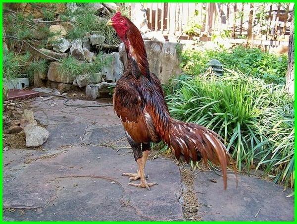 cara mengobati ayam bangkok kaki lemas, ayam lemah lesu, mengobati kaki ayam bangkok lemas, cara mengatasi ayam bangkok lemas, penyebab kaki ayam bangkok lemas, cara menguatkan kaki ayam bangkok yang lemas papaji, kaki ayam bangkok tiba tiba lemas, obat kaki ayam bangkok yang lemas, cara mengobati ayam bangkok yang lemas