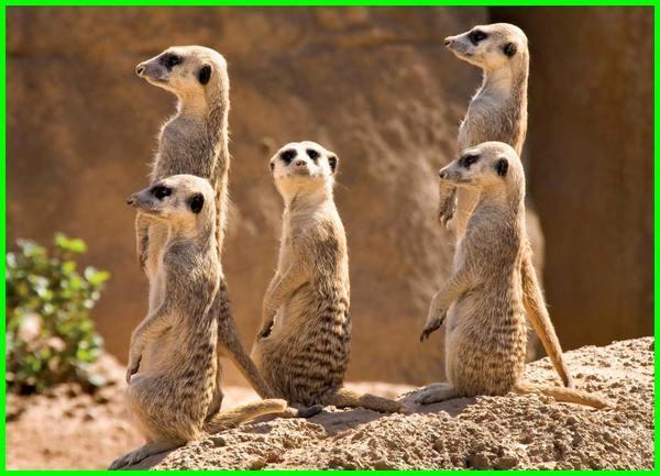 hewan padang pasir unta, contoh hewan padang pasir, hewan di padang pasir, hewan yang hidup di padang pasir tts, gambar hewan di padang pasir, binatang di padang pasir, gambar binatang padang pasir, habitat hewan padang pasir, jenis hewan padang pasir, sebutkan hewan padang pasir