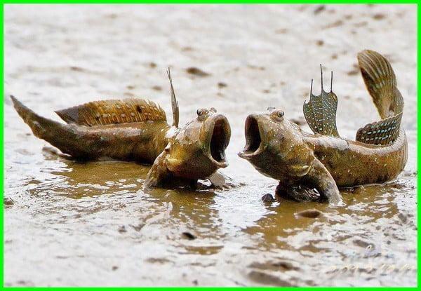 hewan di hutan bakau, hewan yang hidup di hutan bakau, hewan yang ada di hutan bakau, hewan yang dilindungi di hutan bakau, hewan yang dapat mengancam kelestarian hutan bakau adalah, manfaat hutan bakau bagi hewan perairan, hewan hutan mangrove, hewan di hutan mangrove, flora dan fauna hutan bakau