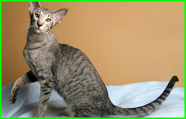 berapa jenis kucing di dunia, nama-nama jenis kucing, nama nama jenis kucing, nama jenis kucing di indonesia
