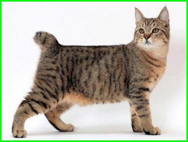 Kucing American Bobtail Si Ekor Bundel Yang Menggemaskan Daftarhewan Com