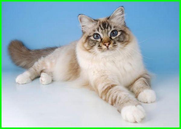 kucing birman, kucing burma, jenis kucing birman, gambar kucing burma, kucing jenis birma, cara merawat kucing birman, kucing birman adalah, ciri ciri kucing birman
