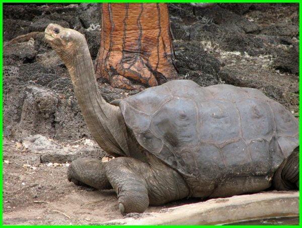 kura-kura galapagos mati, ciri ciri kura kura galapagos, jumlah kura kura galapagos, evolusi kura-kura galapagos, makanan kura kura galapagos, kura kura galapagos punah, populasi kura kura galapagos, kura2 galapagos