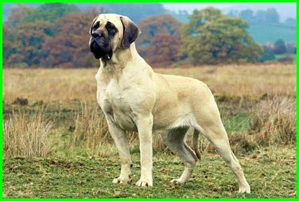 jenis jenis anjing dan ciri cirinya, jenis jenis anjing dan karakternya, jenis dan ras anjing, jenis jenis anjing beserta fotonya, jenis jenis gambar anjing, jenis jenis hewan anjing, jenis jenis anjing dan namanya, jeni jenis anjing