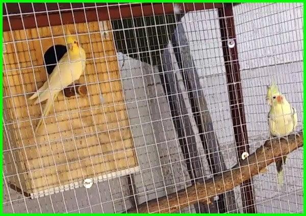beternak burung falk, ternak falk pemula, peternak burung falk, ternak burung falk, ternak burung falk, ternak burung falk koloni, menjodohkan burung falk, ternak burung falk australia, cara menjodohkan burung falk, burung falk kawin, cara ternak burung falk koloni, peluang usaha ternak burung falk