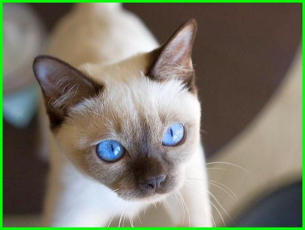 jenis kucing putih mata biru, jenis kucing bermata biru, ras kucing mata biru, jenis kucing yang bermata biru, jenis jenis kucing mata biru, kucing mata biru, ras kucing bermata biru,kucing bermata biru , jenis kucing warna putih mata biru, jenis kucing bermata biru kuning