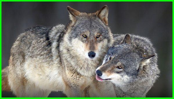 serigala abu-abu, hewan yang setia pada pasangannya, hewan yang paling setia dengan pasangannya, hewan yang paling setia dengan pasangan, binatang yg paling setia dengan pasangannya
