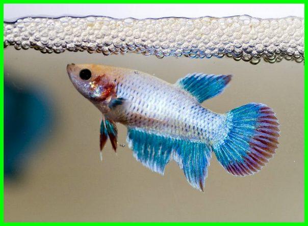ikan cupang berkembang biak dengan, cara berkembang biakan ikan cupang, cara ikan hias berkembang biak, cara berkembang biak ikan cupang, bagaimana ikan cupang berkembang biak, bagaimana cara ikan cupang berkembang biak, cara kembang biak ikan cupang, ikan cupang berkembang biak dengan cara, proses perkembangbiakan ikan cupang, cara perkembangbiakan ikan cupang, cara berkembang biak cupang, kembang biak cupang, bagaimana cara ikan cupang bertelur, cara berkembangbiak ikan cupang, proses kembang biak ikan cupang