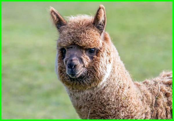 Hewan alpaca
