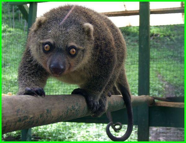 hewan kuskus berasal dari, hewan kuskus papua, hewan kuskus adalah, hewan asli kuskus beruang, kuskus adalah hewan tipe asal hewan kuskus, gambar hewan kuskus beruang, ciri ciri hewan kuskus beruang, contoh hewan kuskus, ciri2 hewan kuskus, kuskus hewan dilindungi, kuskus hewan daerah