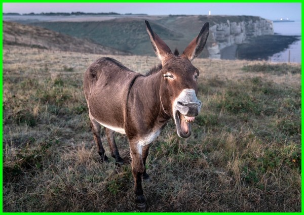 keledai hewan bodoh, kenapa keledai hewan bodoh, keledai hewan paling bodoh