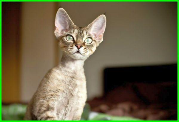 harga kucing devon rex, jual kucing devon rex, kucing cornish rex, kucing rex, kucing selkirk rex