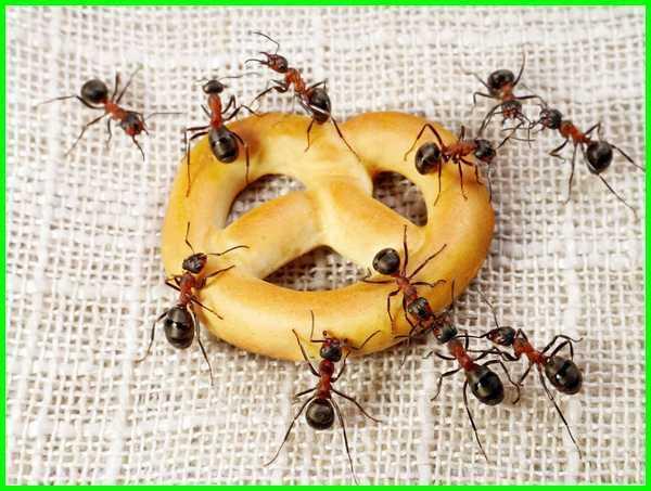 apakah makanan semut, apa saja makanan semut, makanan semut adalah, apa saja makanan semut rangrang, apa makanan semut rangrang, apa makanan semut hitam, apa makanan semut jepang, apa makanan semut jepang selain ragi, jenis makanan semut