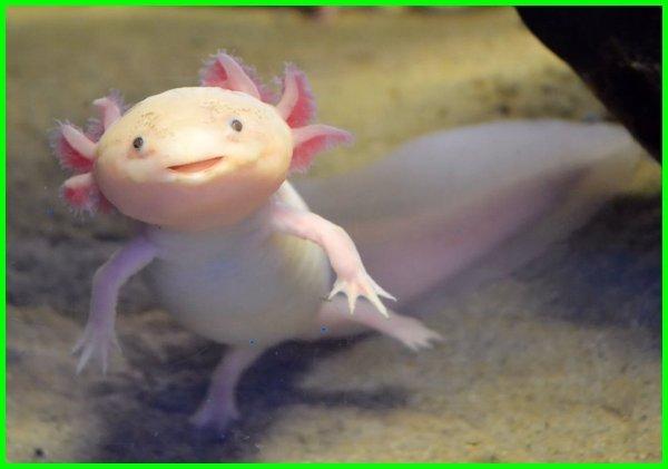 Axolotl, nama hewan bahasa inggris dari a sampai z, nama hewan bahasa inggrisnya, nama hewan bahasa inggris dan cara membacanya, nama hewan dari bahasa inggris, nama hewan dengan bahasa inggris, nama2 hewan dengan bahasa inggris, nama nama hewan bahasa inggris