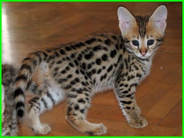kucing savannah harga, kucing savannah f1, kucing jenis savannah, keunggulan kucing savannah, kucing ras savannah, sifat kucing savannah, tinggi kucing savannah, ukuran kucing savannah, anak kucing savannah, kucing baka savannah, foto kucing savannah, fakta kucing savannah, gambar kucing savannah, kucing hutan savannah