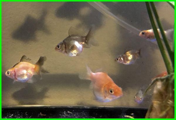 pakan anakan ikan mas koki, cara merawat anakan ikan mas koki, ikan koki anakan, ikan mas koki anakan, ikan mas koki perawatan, ikan mas koki unik, ikan mas koki anakan, penjelasan tentang ikan mas koki