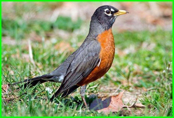 burung robin bahasa inggrisnya, burung robin dalam bahasa inggeris, burung robin asli