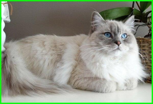 kucing ragdoll adalah, kucing ragdoll apa, ciri kucing ragdoll asli, asal kucing ragdoll, kucing ragdoll vs maine coon, cari kucing ragdoll, ragdoll adalah, ragdoll kucing, kucing ragdoll asli, foto kucing ragdoll, fakta kucing ragdoll, karakter kucing ragdoll, karakteristik kucing ragdoll